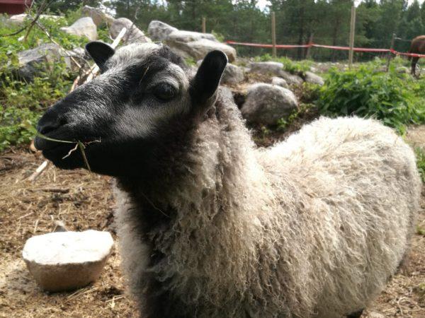 kiieksen-tila-nurmes-lammas