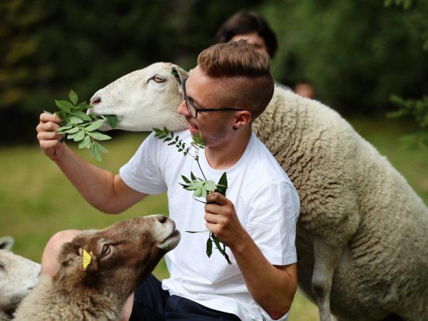 vk-summer-sheep