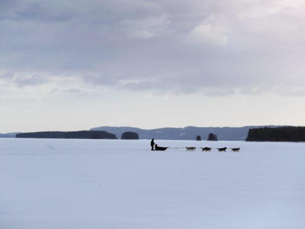 vk-koiravaljakko-pielisen-jäällä