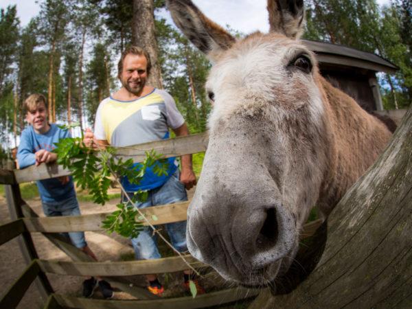 vk-Kitee-Zoo-Kiteen-eläinpuisto-aasi