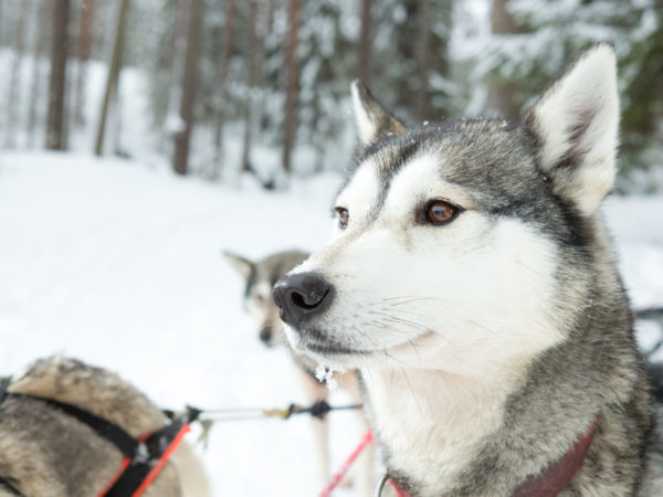 husky-talvella-kolilla